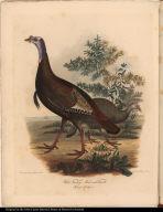 """Wild Turkey. Male and Female"""